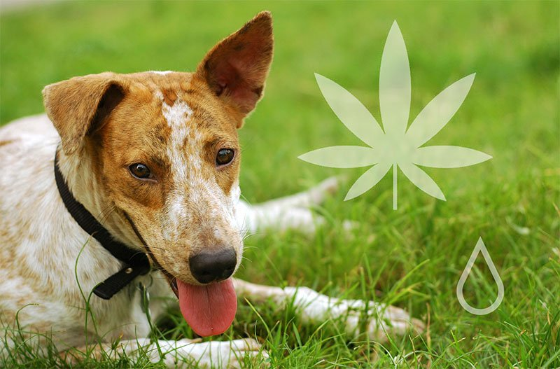 The Evolution of New CBD Veterinary Therapeutics