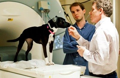 Neuroscientist Gregory Berns adopted Callie, a two-year-old mixed-breed, from a shelter at nine months and trained her to lie still in the scanner and wear ear protection.