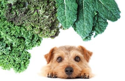Can Dogs Eat Kale? Curly leaf, Russian and Tucson kale.
