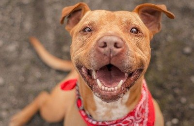 Airlines can't ban pitbulls