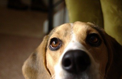 Beagle Scent Dogs