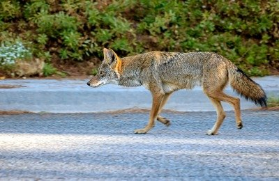 coyotes while walking dogs