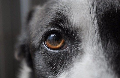 Canine Eye Conditions