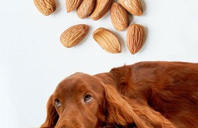 Can Dogs Eat Almonds?