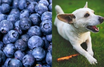 Can dogs eat blueberries? Yes!