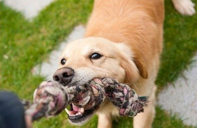 Playing Tug With Dogs Is a Good Thing