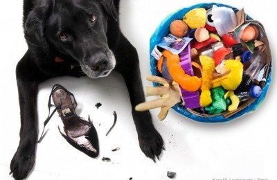 dog chewing shoes