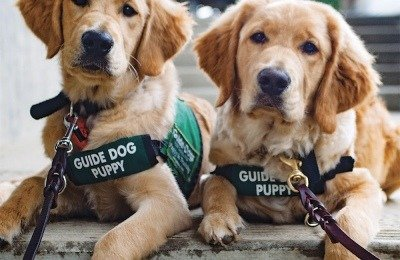 Paying attention is a major guide-dog skill, and these puppies seem on track to master it.