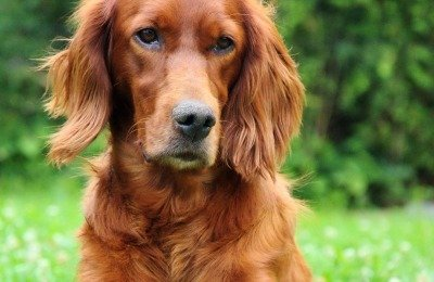 red Irish Setters