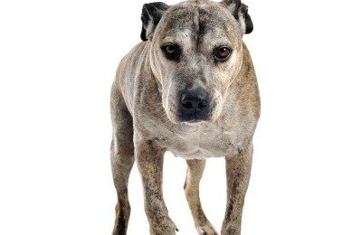 Senior Dogs with Arthritis - Tips on How to Help Sooth Pains