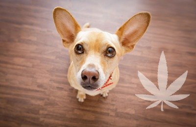 cbd and anxious dogs