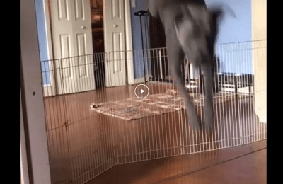 dog jumps over everything but vacuum