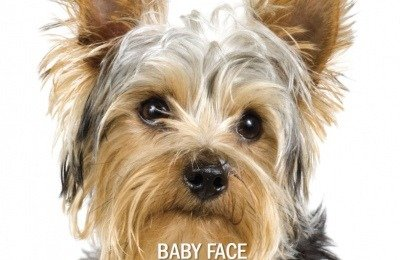 Small Dogs \ Yorkie Terrier