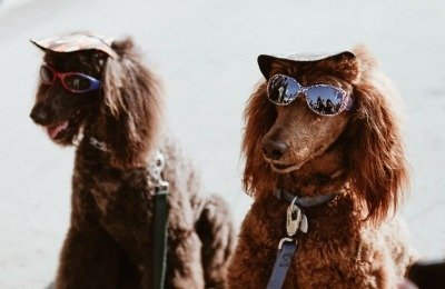 dogs in a band