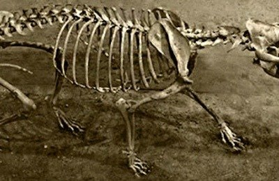 Altai Dog skeleton