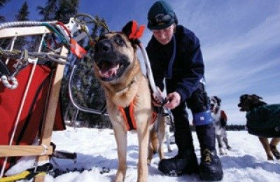 rehabilitating sled dogs