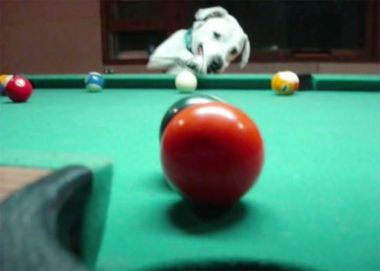 DOG PLAYS GAME OF POOL