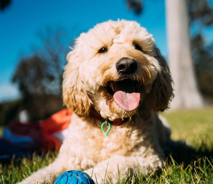 Dogs could be an important sentinel species for the long-term health effects of environmental chemicals, research shows.