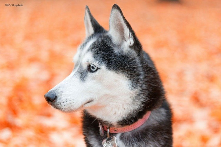 Husky popularity has increased—not a good thing for the breed.