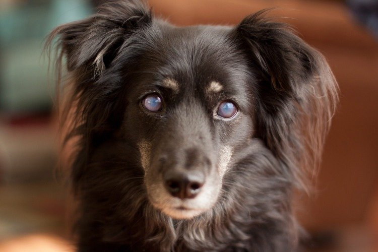 Uveitis in dogs - eye inflammation treatment