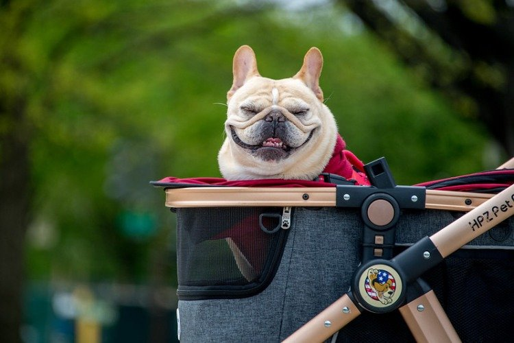 Teach Your Dog To Ride in a Pet Stroller