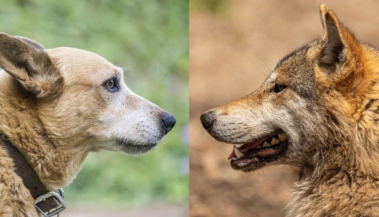 Comparison of Dogs and Wolves